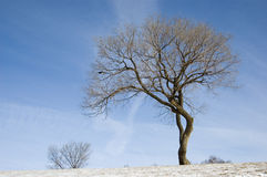 A tree without leaves Stock Photography