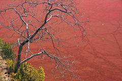 Tree without leaves against red pond, Ranthambore Fort, India Royalty Free Stock Photos