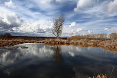 Tree without leaves in autumn swampy field Stock Image