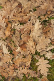 Tree leaves Stock Photography