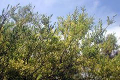 Tree leaves on blue sky. Australian bush branches and leaves on blue sky royalty free stock photos