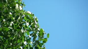 Tree Leaves on the Blue Sky Background. This video shows Tree Leaves on the Blue Sky Background stock video footage