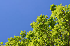 Tree leaves with blue sky. Tree leaves in spring with clear blue sky Royalty Free Stock Photo