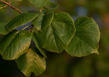 Tree leaves with blurry background. And dark green colour, showing light plazing on them stock photography