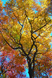 Tree leaves changing colors as fall approaches Stock Image