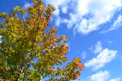 Tree Leaves Changing Colors During the Fall Season. Tree leaves turning beautiful colors during the fall season against a blue sky Stock Photos