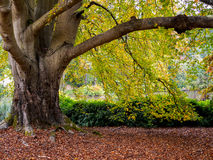 Tree Leaves Changing Colour Royalty Free Stock Images