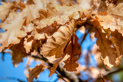 Tree leaves of cork Royalty Free Stock Photo