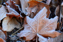 Tree leaves covered by frost Stock Images