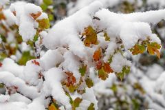 Tree and leaves covered in snow in winter stock images