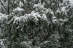 Tree and leaves covered in snow in winter royalty free stock image