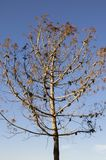 Tree without leaves due to winter, autumn day in the mediterranean  blue sky with withered winter leaves Royalty Free Stock Photography