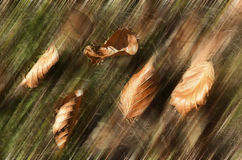 Tree leaves that fall in autumn season Royalty Free Stock Images