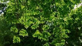 Tree leaves fluttering in the wind backlit. Shot stock footage