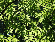 Tree leaves: Fraxinus Excelsior. Green leaves of an ash (Fraxinus Excelsior) in the sunlight Stock Images