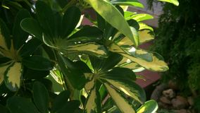 Tree and leaves in garden. Tree and leaves for decoration house garden in Vietnam stock video