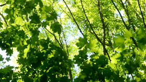 Tree leaves in a green spring forest. The wind wobbles the trees stock video footage