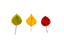 Tree leaves, green, yellow and red. Green, yellow and red leaf isolated on a white background Stock Photos