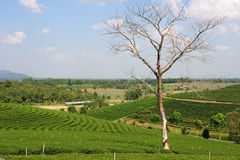 Tree without leaves on a hill of tea plantation Stock Photography