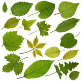 Tree leaves Royalty Free Stock Photos