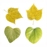 Tree leaves isolated Stock Image