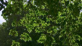 Tree leaves moving fast in the wind backlit stock footage