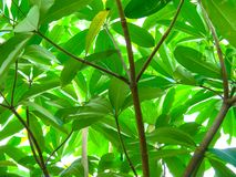 Fresh Green Leaves of Octopus tree in a sunny day stock photos