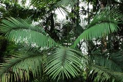 Tree leaves of a palm tree in the shape of a bird in the jungle or tropical forest stock photography