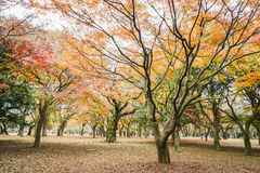 Tree leaves in the park change color to orange and red Royalty Free Stock Images