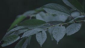 Tree leaves with rain drops. Telephoto lens video. Clip stock video