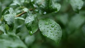 Tree leaves with raindrops sway, close-up stock footage