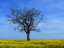 A tree without leaves in the rapeseed field Royalty Free Stock Images
