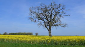 A tree without leaves in the rapeseed field Stock Photos