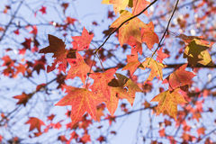 Tree Leaves Red Colors Royalty Free Stock Photo