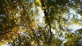 Tree leaves rustle in the wind. Against a blue sky stock video footage