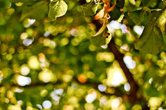 Tree leaves with shallow depth of field. A shot of a tree and bokeh Royalty Free Stock Image