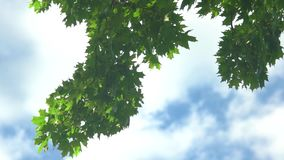 Tree leaves on sky background. stock video footage