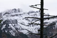 Tree without leaves with snowy mountain in the background. royalty free stock images