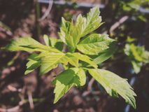Tree leaves sprouting in the spring royalty free stock photos
