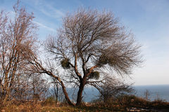 Tree without leaves. Tree standing alone on a hill on a background of  the sky and sea Royalty Free Stock Images