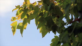 Tree leaves in sunbeams. At backdrop azure sky stock video footage