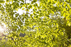 Tree leaves in sunlight Stock Images