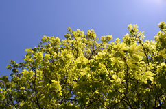 Tree leaves in sunlight. Tree leaves on branches in sunlight with blue sky Stock Photos