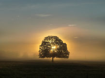 Tree with leaves at sunrise, golden hour, in the middle with fog Stock Images