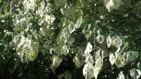 Tree Leaves. Swaying in the wind stock footage