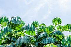 tree leaves. Royalty Free Stock Images