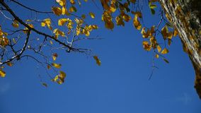 Tree leaves in the wind branch of a tree against the sky nature autumn stock footage