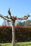Tree without leaves on winter suny day. Tree pruned in a garden Stock Photo