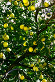 Tree of lemons Royalty Free Stock Photography
