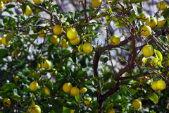 Tree of lemons Stock Photos